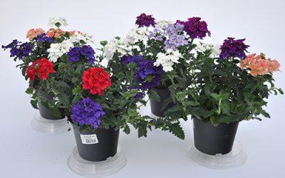 Beet- & Balkonpflanzen