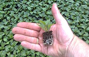 Gärtnerei R. Bosch KG, Rain am Lech, Jungpflanzen